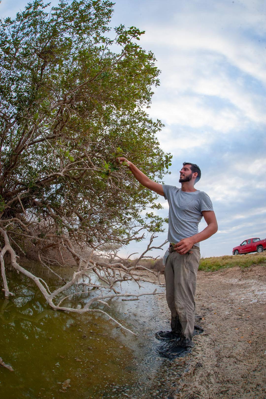 Desert Mangroves